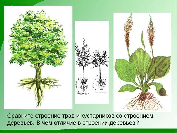 Сравните строение трав и кустарников со строением деревьев. В чём отличие в с...