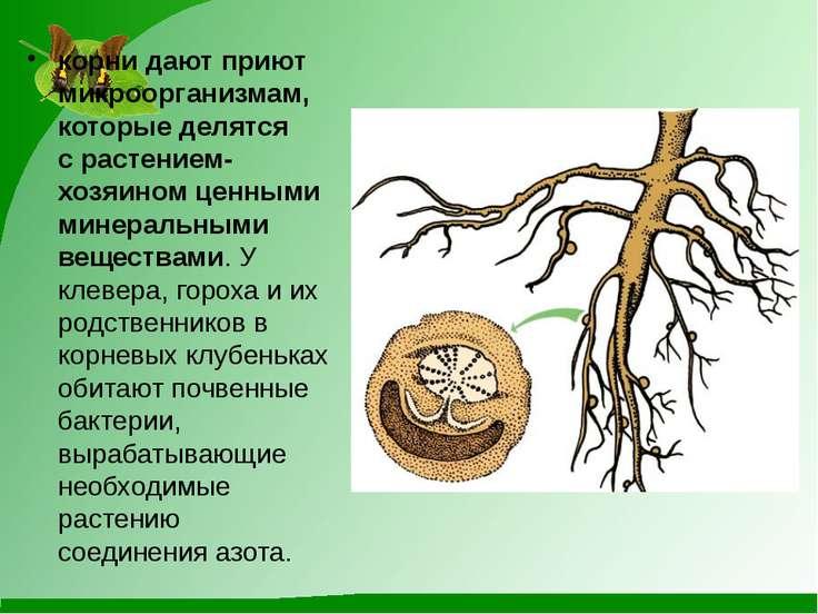 корни дают приют микроорганизмам, которые делятся срастением-хозяином ценным...