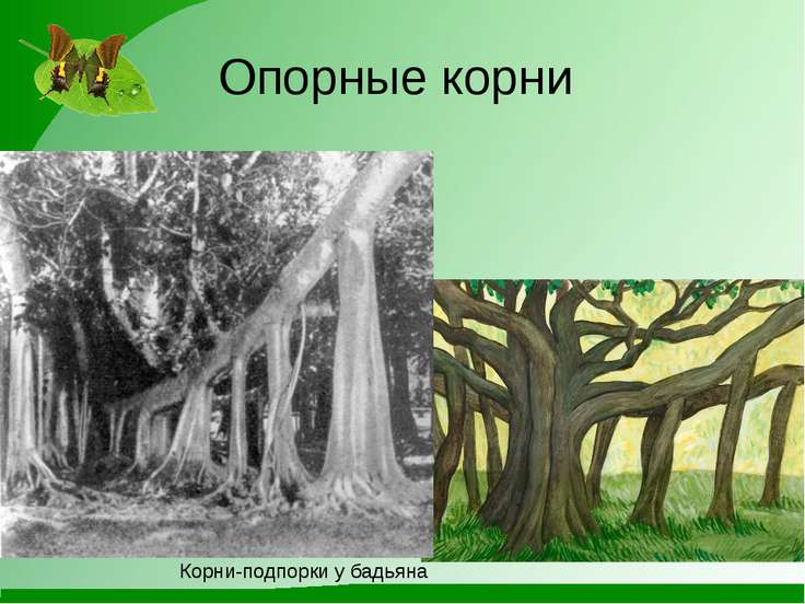 Опорные корни Корни-подпорки у бадьяна
