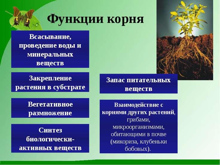 Функции корня Всасывание, проведение воды и минеральных веществ Запас питател...