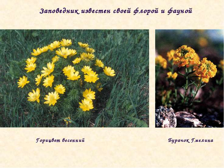 Заповедник известен своей флорой и фауной Горицвет весенний Бурачок Гмелина