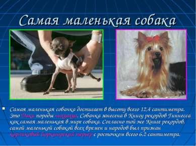 Самая маленькая собачка достигает в высоту всего 12,4 сантиметра. Это Даки по...