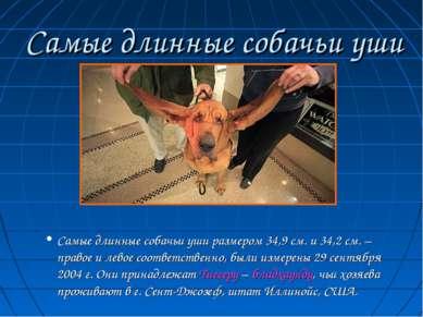 Самые длинные собачьи уши Самые длинные собачьи уши размером 34,9 см. и 34,2 ...