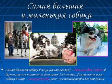 Самая большая и маленькая собака Самая большая собака в мире (самая рослая) –...