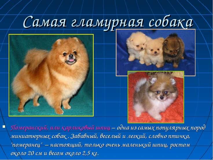 Самая гламурная собака Померанский, или карликовый шпиц – одна из самых попул...