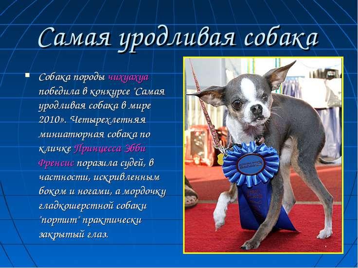 """Самая уродливая собака Собака породы чихуахуа победила в конкурсе """"Самая урод..."""