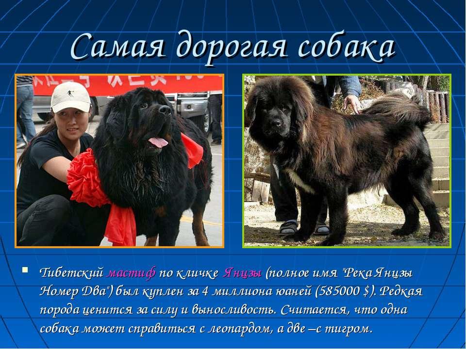 """Самая дорогая собака Тибетский мастиф по кличке Янцзы (полное имя """"Река Янцзы..."""