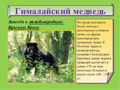 Гималайский медведь На груди находится белое, иногда с желтоватым оттенком пя...
