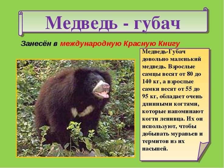 Медведь - губач Медведь-Губач довольно маленький медведь. Взрослые самцы веся...