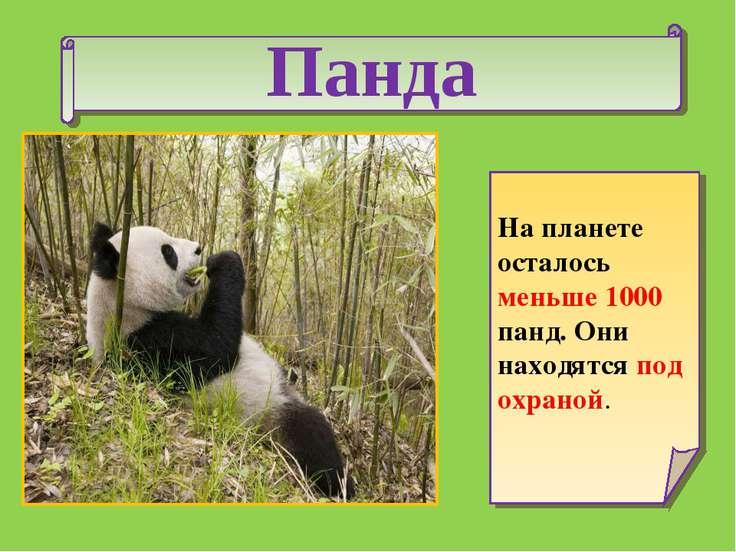 Панда На планете осталось меньше 1000 панд. Они находятся под охраной.