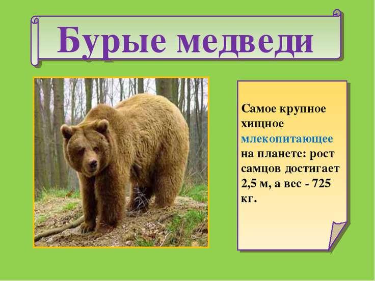 Бурые медведи Самое крупное хищное млекопитающее на планете: рост самцов дост...