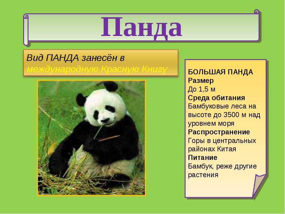 Панда БОЛЬШАЯ ПАНДА. Размер. До 1,5 м Среда обитания. Бамбуковые леса на высо...
