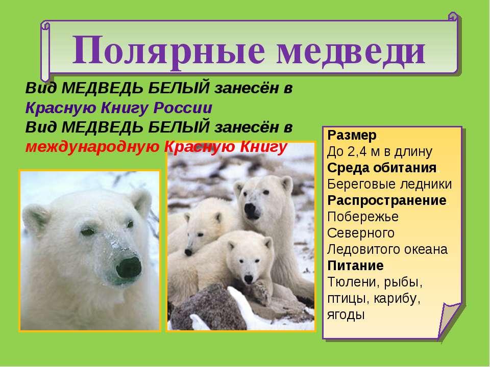 Полярные медведи Размер. До 2,4 м в длину Среда обитания. Береговые ледники Р...