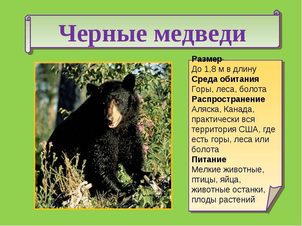 Черные медведи Размер. До 1,8 м в длину Среда обитания. Горы, леса, болота Ра...