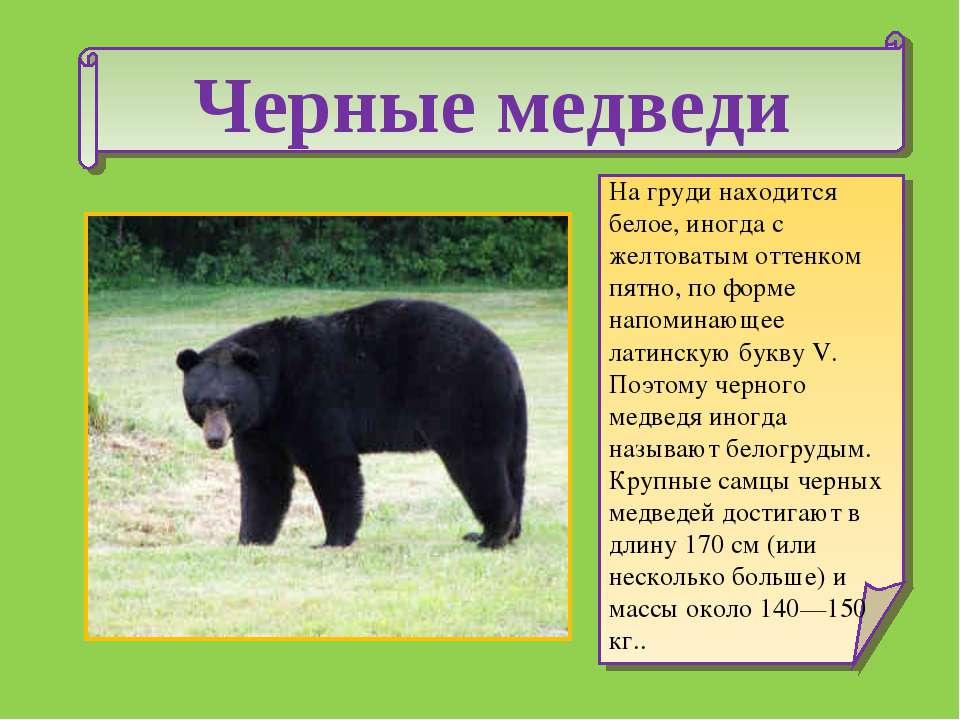 Черные медведи На груди находится белое, иногда с желтоватым оттенком пятно, ...
