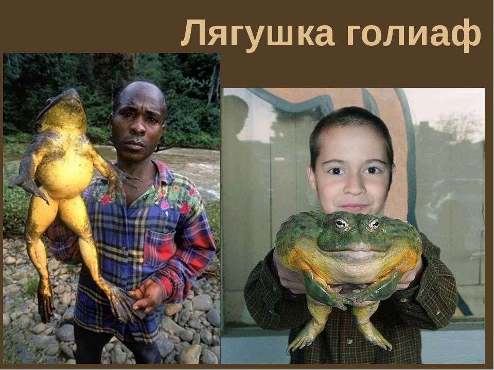 Лягушка голиаф