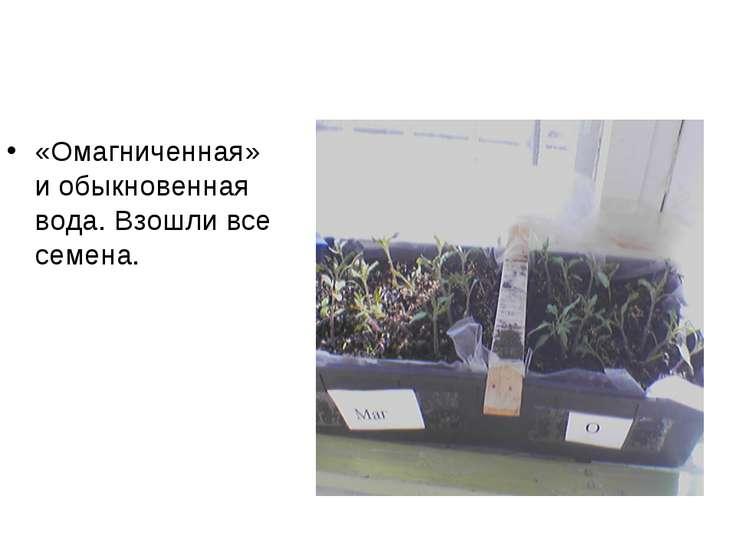 «Омагниченная» и обыкновенная вода. Взошли все семена.