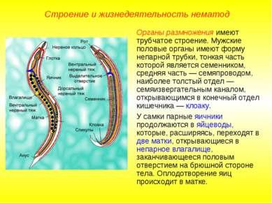 Строение и жизнедеятельность нематод Органы размножения имеют трубчатое строе...