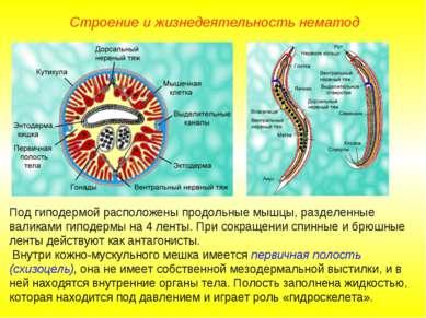 Строение и жизнедеятельность нематод Под гиподермой расположены продольные мы...