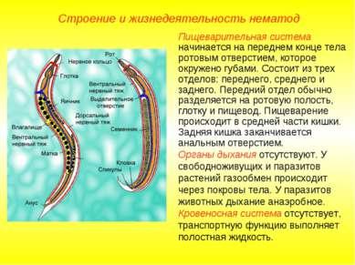 Строение и жизнедеятельность нематод Пищеварительная система начинается на пе...