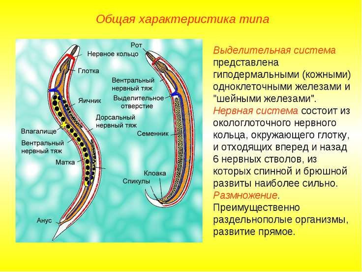 Общая характеристика типа Выделительная система представлена гиподермальными ...