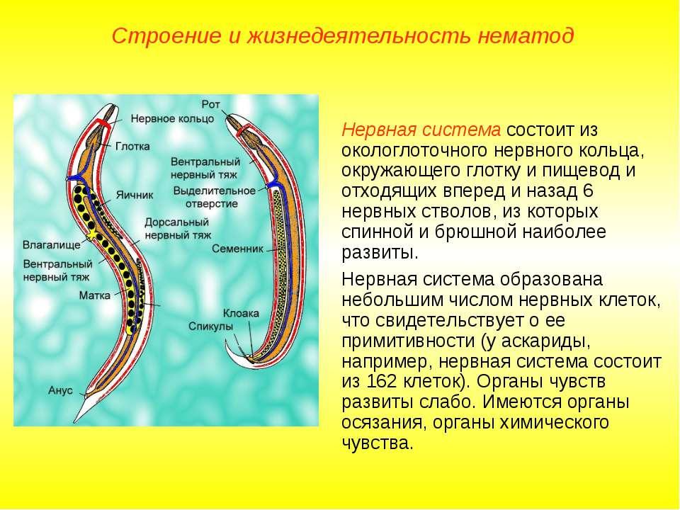Строение и жизнедеятельность нематод Нервная система состоит из окологлоточно...