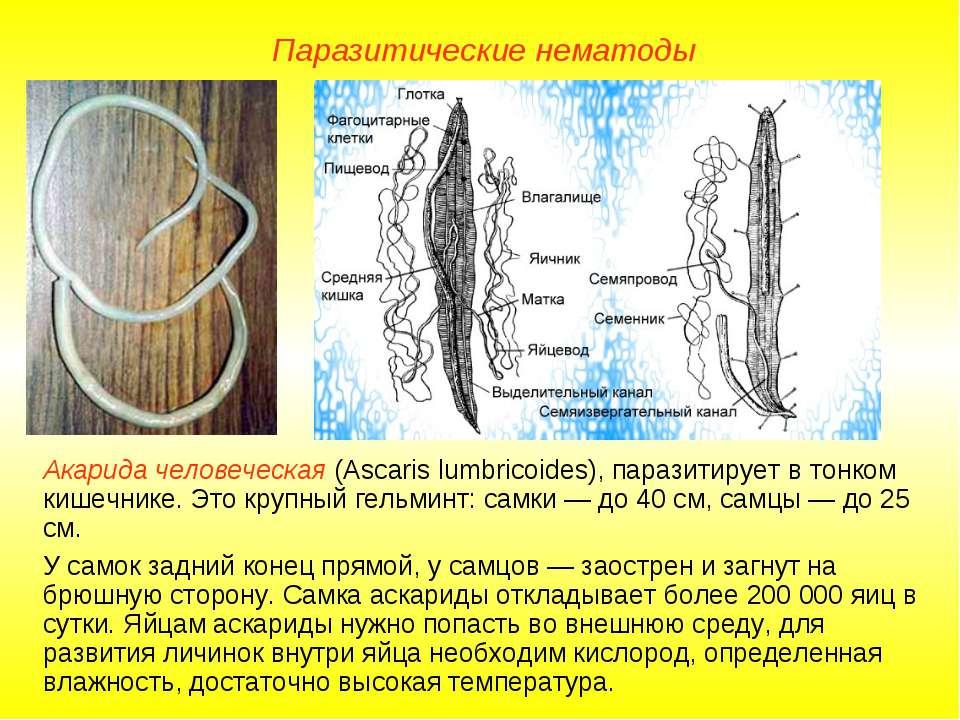 Паразитические нематоды Акарида человеческая (Ascaris lumbricoides), паразити...