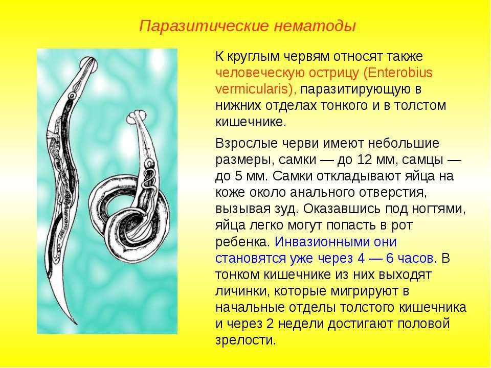 К круглым червям относят также человеческую острицу (Enterobius vermicularis)...