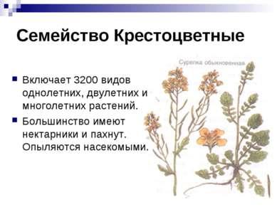 Семейство Крестоцветные Включает 3200 видов однолетних, двулетних и многолетн...