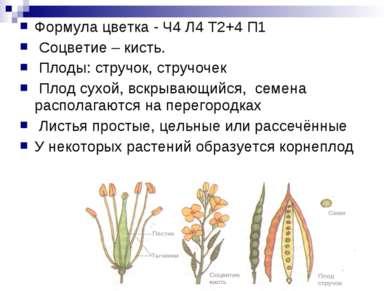 Формула цветка - Ч4 Л4 Т2+4 П1 Соцветие – кисть. Плоды: стручок, стручочек Пл...