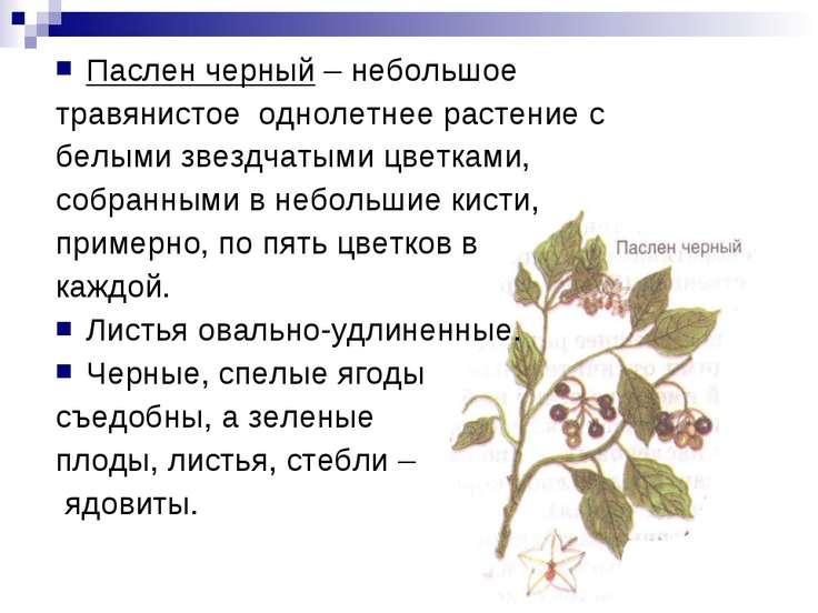 Паслен черный – небольшое травянистое однолетнее растение с белыми звездчатым...