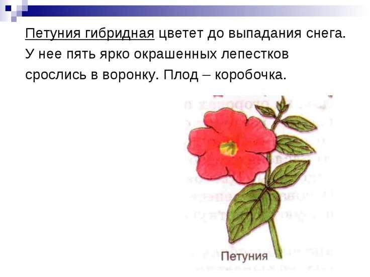 Петуния гибридная цветет до выпадания снега. У нее пять ярко окрашенных лепес...