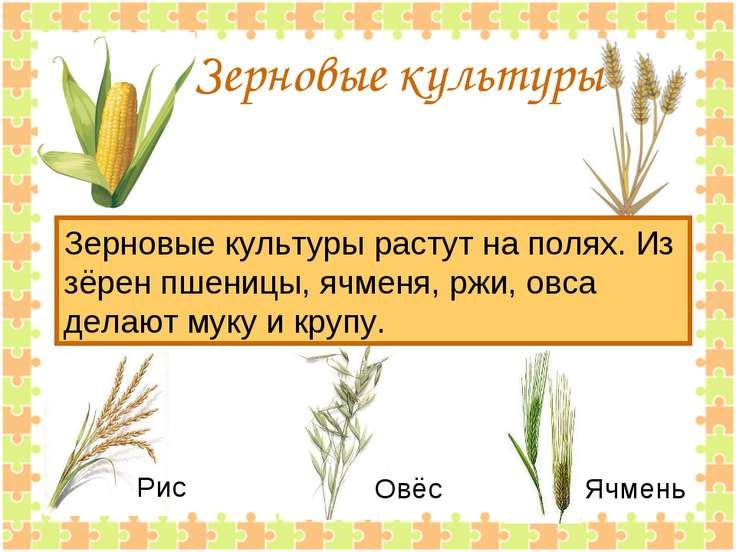 Зерновые культуры Зерновые культуры растут на полях. Из зёрен пшеницы, ячменя...