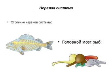 Нервная система Строение нервной системы: Головной мозг рыб: