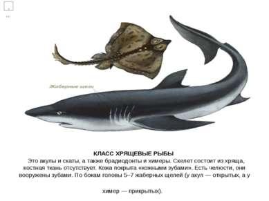 КЛАСС ХРЯЩЕВЫЕ РЫБЫ Это акулы и скаты, атакже брадиодонты ихимеры. Скелет с...
