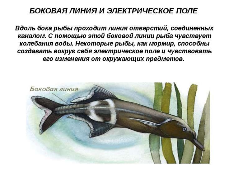 БОКОВАЯ ЛИНИЯ И ЭЛЕКТРИЧЕСКОЕ ПОЛЕ Вдоль бока рыбы проходит линия отверстий, ...