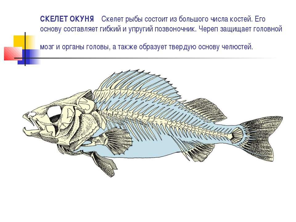 СКЕЛЕТ ОКУНЯ Скелет рыбы состоит из большого числа костей. Его основу составл...