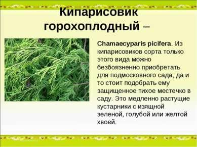 Кипарисовик горохоплодный – Chamaecyparis picifera. Из кипарисовиков сорта то...