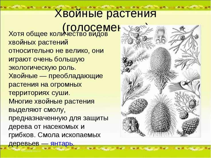 Хвойные растения (голосеменные) Хотя общее количество видов хвойных растений ...