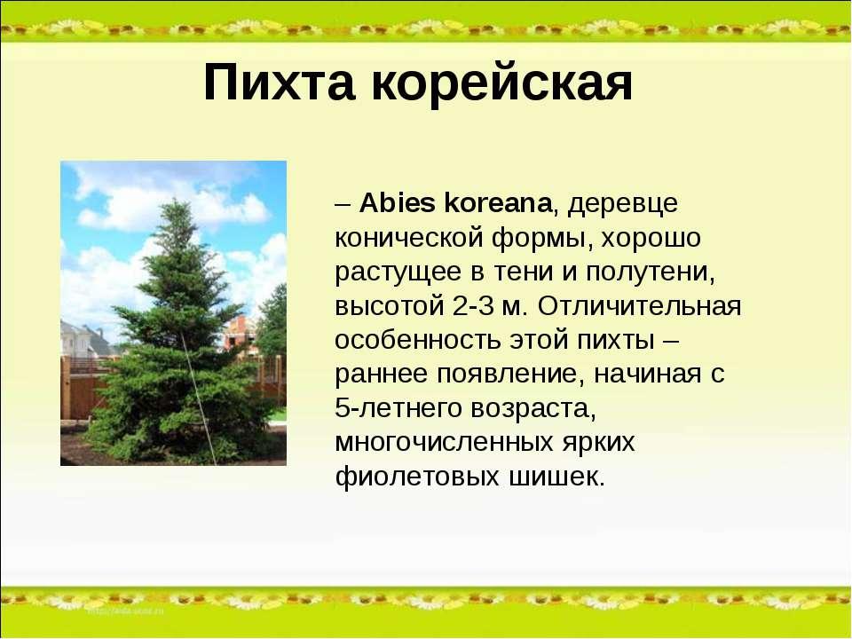 Пихта корейская – Abies koreana, деревце конической формы, хорошо растущее в ...