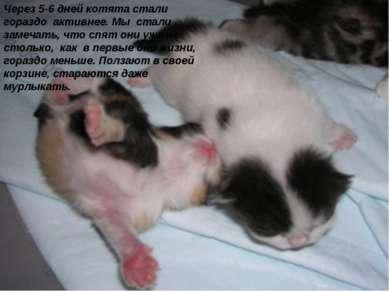 Через 5-6 дней котята стали гораздо активнее. Мы стали замечать, что спят они...