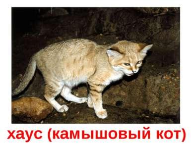 хаус (камышовый кот)