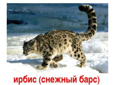 Ирбис ирбис (снежный барс)