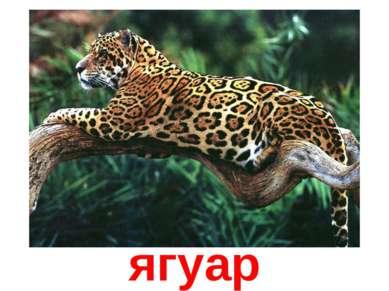 Ягуар ягуар