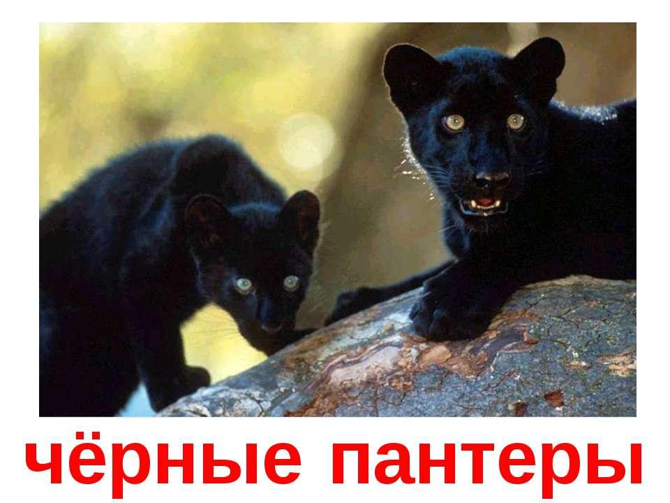 чёрные пантеры