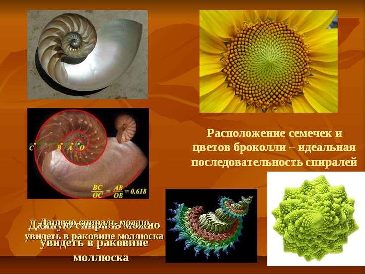 Данную спираль можно увидеть в раковине моллюска Расположение семечек и цвето...
