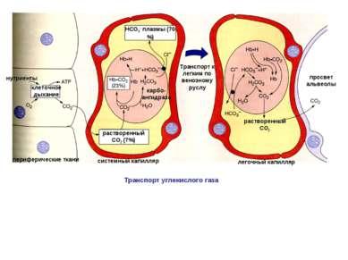 клеточное дыхание нутриенты периферические ткани растворенный СО2 (7%) НСО3- ...