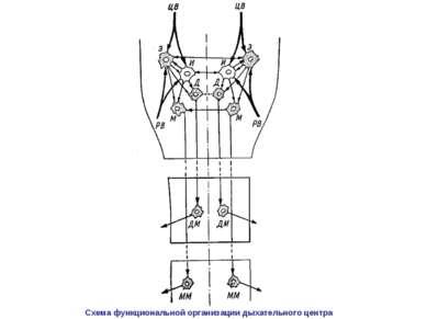 Схема функциональной организации дыхательного центра