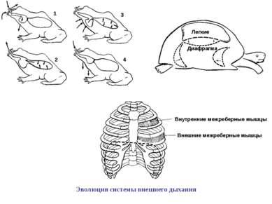 1 3 2 4 Легкие Диафрагма Внутренние межреберные мышцы Внешние межреберные мыш...