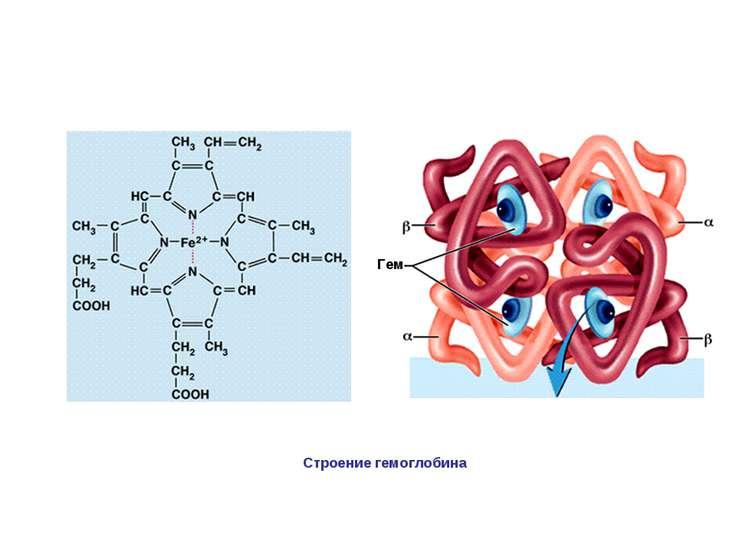 Гем Строение гемоглобина